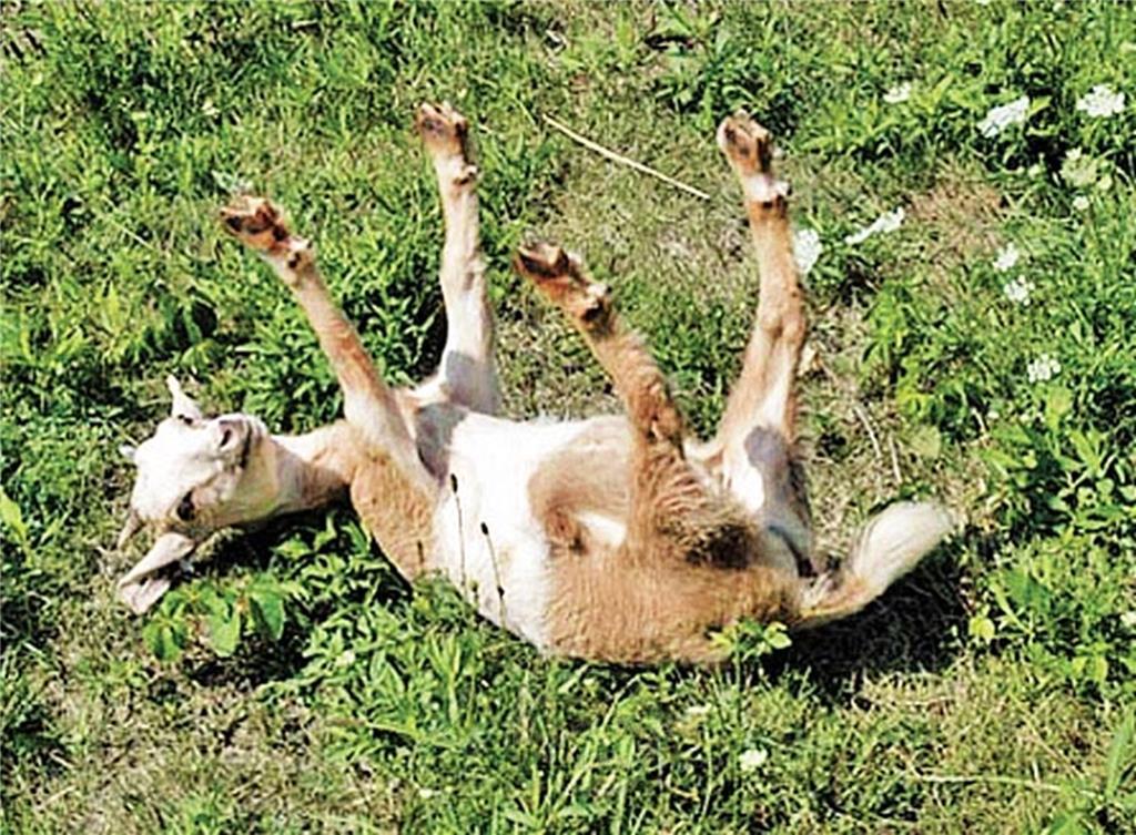 您看過「昏倒羊」嗎?位於美國加州的一間牧場,就有羊兒午餐時間為搶食胡蘿蔔,因興奮過度昏倒,不少遊客遠道而來,就想一睹「昏倒羊」的萌樣。 餵食時間到,打開柵欄,羊群通通圍上來,突然有隻羊在地上滾了一圈,牠因太過興奮而昏倒2秒,就像喝醉酒一樣。 這間牧場裡有些羊會莫名其妙昏倒,之後自己又站起來。牠們昏倒時間只有幾秒,但因為腿會僵硬地伸直,所以會在地上翻好幾個跟斗;突然聽到巨響也會昏倒,牧場保證絕對沒有虐待動物,而這些「昏倒羊」也都沒有受傷。牧場主人說,其實不愛看牠們昏倒,但牠們又沒有受傷,而且昏倒時眼睛是睜開