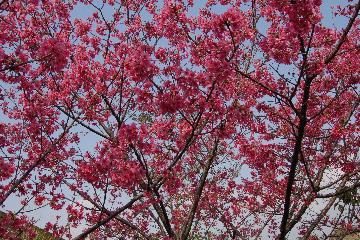 图说:横山乡内湾及大山背风景区栽植的山樱